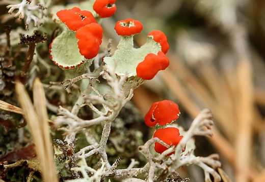 British Soldiers lichens