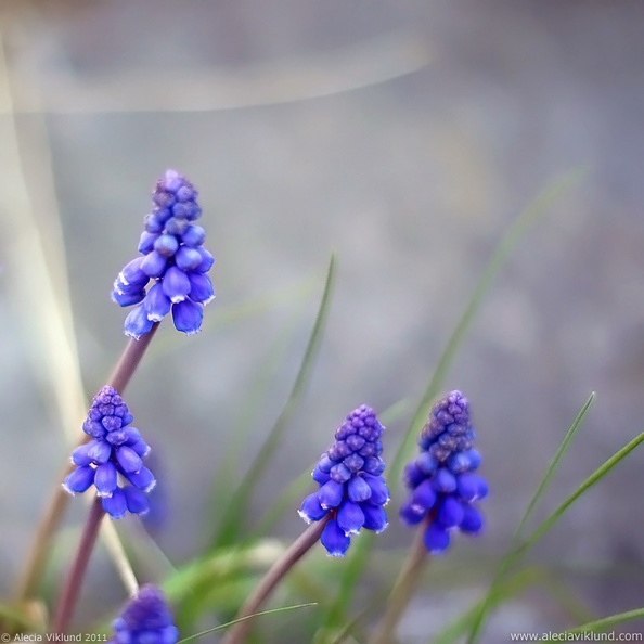 Grape_Hyacinth_web.jpg