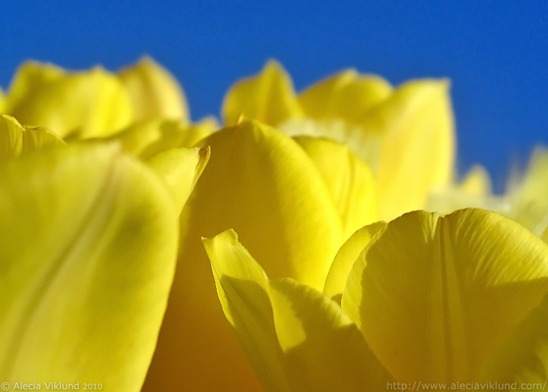 Yellow_Tulip_web.jpg